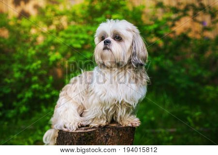 Shih tzu dog in garden sitting on stump and looking aside
