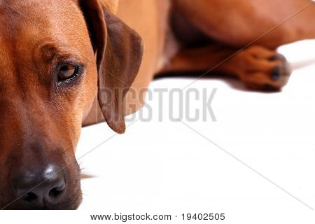 left half of rhodesian ridgeback over white background