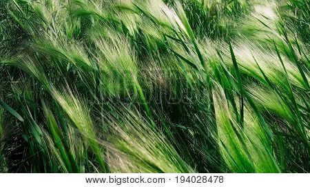 Bright summer day. Wind waving field of green grass.