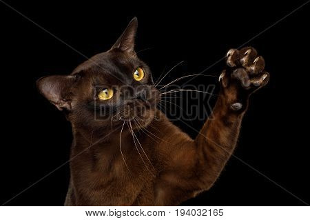 Close-up Sable Burmese Cat Catching his sharp claws on Paw isolated black background