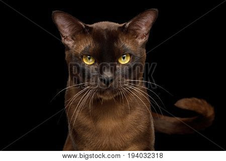 Portrait of Angry Sable Burmese Cat Gazing in camera, with tail isolated on black background, front view