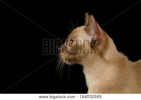 Portrait of Chocolate Burmese Young Cat isolated on black background, profile view