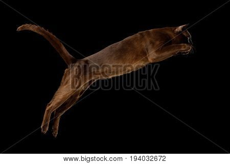Playful Sable Burmese Cat Jumping in action isolated on black background, side view