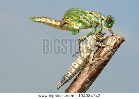 Metamorphosis of Gomphus flavipes River Clubtail dragonfly