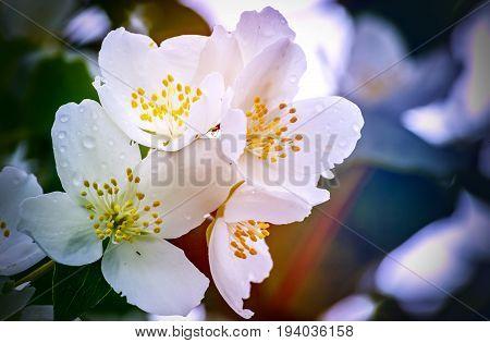Blossoming flowers of Jasmine tree (Jasminum officinale), summer, Europe. White jasmine tree belongs to the genus Jasminum that numbering around 200 species.  Selective focus