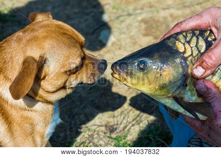 Red dog with interest looks at the fish