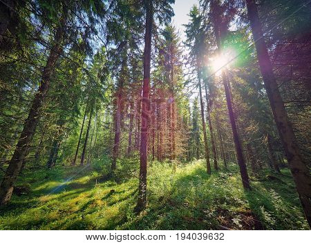 Green Sunny Forest In Finland