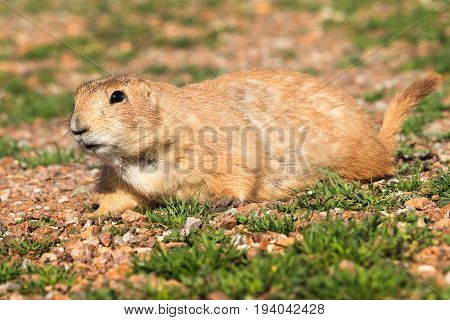 Prairie dog laying on the rocky ground with a curious face.