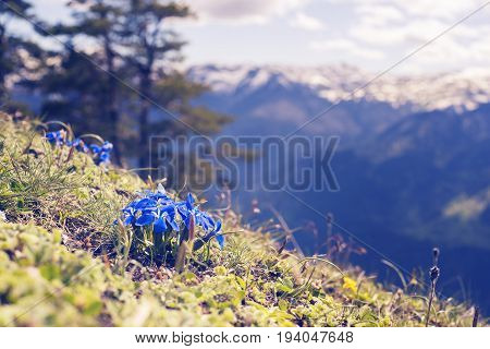 Blue Wildflowers, Close-up, Blooming In The Alpine Meadow