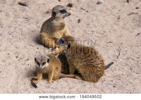 Meercat Family In The Zoo