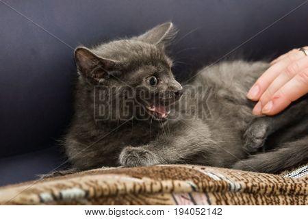 A Beautiful Russian Blue Kitten Meowing