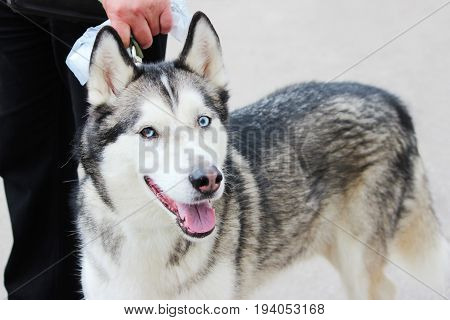 White And Gray Adult Siberian Husky Dog Or Sibirsky Husky With Blue and Brown Eyes. Heterochromia