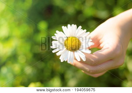 Camomile (daisy) flower in female hand. Girl holding a daisy flower in arm.