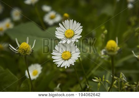 Two daisy flower. An explosion of color and details of a common flower of the Italian peninsula.