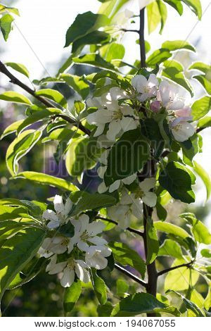 A Blossoming apple bush flower. Horizontal orientation. Outdoor