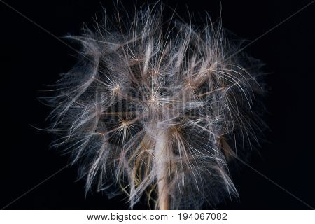 Big white fluffy shaggy dandelion flower close-up on a black background