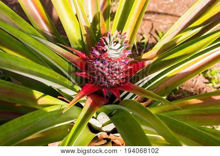A red pineapple growing at the bush in South Vietnam