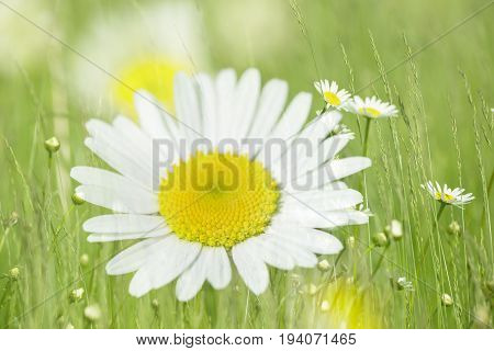 a white daisy flower in a grass