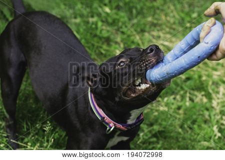 american pitbullterrier dog with puller toy in teeth. Young playful dog pulls toy. Owner Playing With Dog using puller in the park