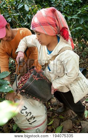 In The Mountains Of Northern, Thailand Women Of The Akha Ethnic Group Gather Coffee