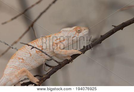 Desert Iguana On Branch