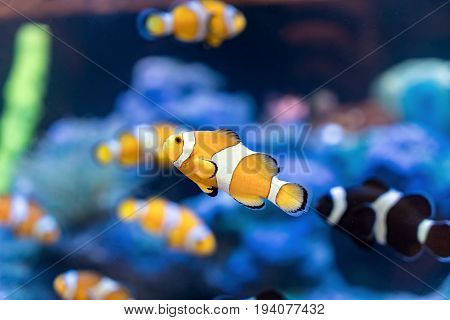 Amphiprion Ocellaris Clownfish In Clownfish swim around their host anemone with blue water behind. Photo of a tropical Fish on a coral reef.