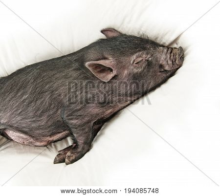 a cute little black pig sleaping on pillow