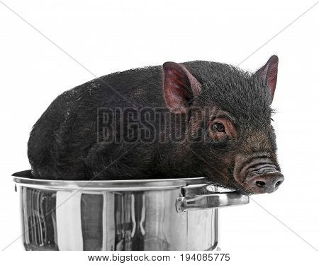 a cute little black  pig in a pot