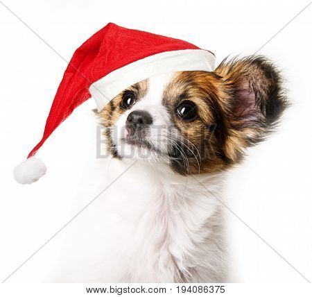 cute papillon puppy with red santa cap
