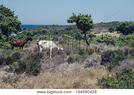 Goats graze on a meadow of mountain at sunset of Greece. Cow on the mountain opposite sea