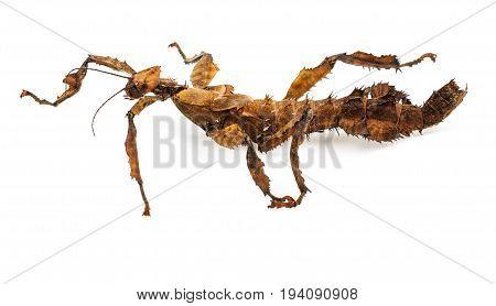 Extatosoma tiaratum tiaratum - spiny leaf insect