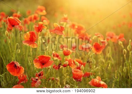 Beautiful summer poppy flowers with red petals. Blooming plants at sunset. Poppy field