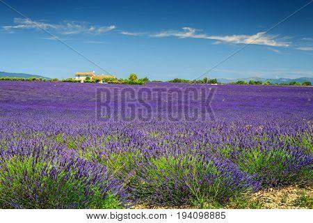 Fantastic violet lavender fields near Valensole village Provence region France Europe