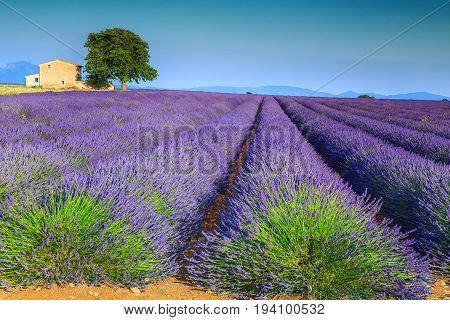 Magical violet lavender fields near Valensole village Provence region France Europe