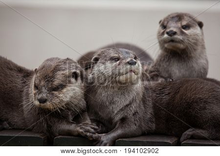 Oriental small-clawed otter (Amblonyx cinereus), also known as the Asian small-clawed otter.