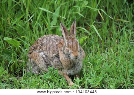Eastern Cottontail rabbit (Sylvilagus floridanus) in the lush grass beside an old country road