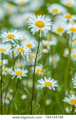 meadow full of blooming Bellis perennis daisies