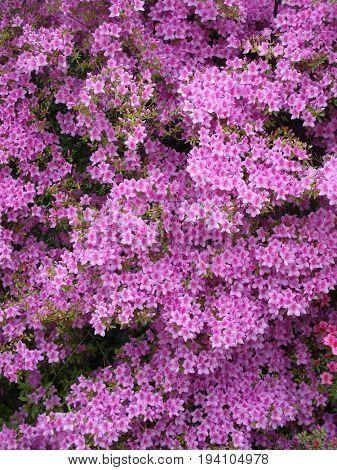 azalea plant in blossom