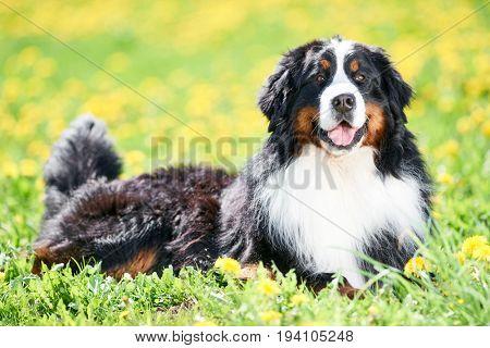 Bernese Sennenhund purebred shepherd dog in field