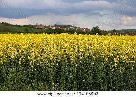 Natural agricultural rape plantation. Fields with yellow and green nature plants.