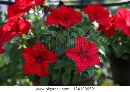Petunia - a very beautiful summer flowers