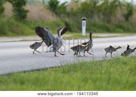 geese on the road - risk of collision with a car