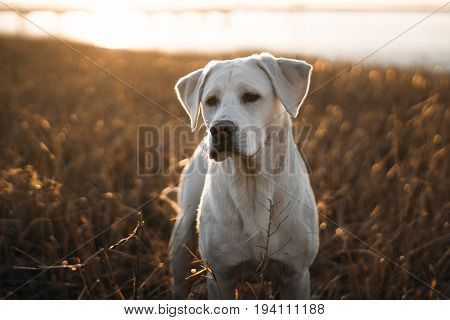young cute labrador retriever dog puppy sunbathing on the beach in front of the water