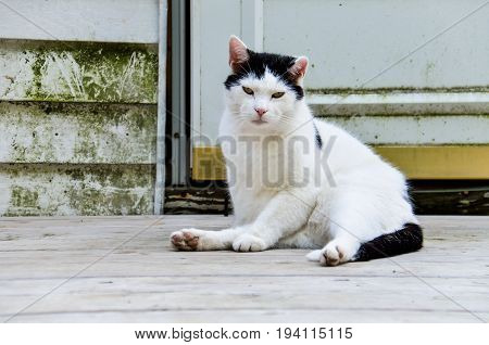 Angry black and white cat sitting on porch and staring