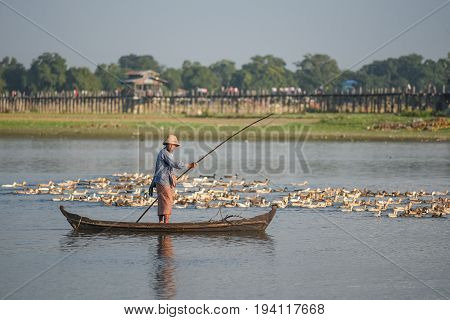 AMARAPURA MYANMAR - DECEMBER 23 2016 : Burmese boatman with group of duck near U Bein Bridge the oldest and longest teak bridge (Wooden footbridge) in the world near Mandalay.