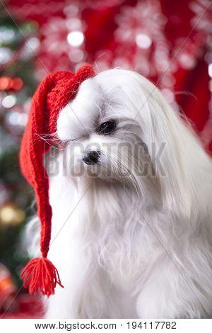 Maltese dog in red hat