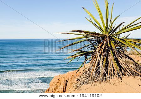 Torrey Pines yucca shrub in pacific ocean in San Diego California with cliff