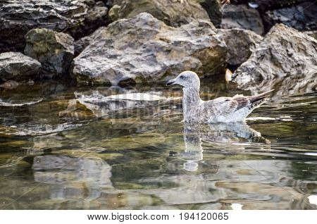 Herring Western sea Gull seagull swimming by rocks in Oxnard California with reflection