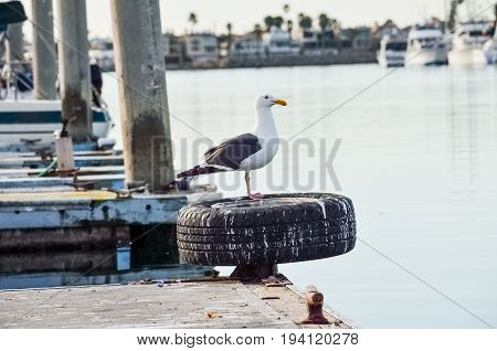 One seagull standing on pier in Oxnard harbor with boats