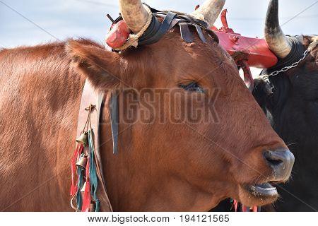 Italian cow in the rural farm, yoke of oxen in organic farming